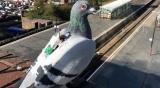 Британcкие голуби собирают климатические данные