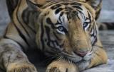 В США тигр заболел COVID-19