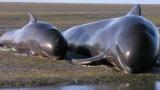 Новая Зеландия: Киты выбрасываются на берег
