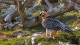 Бородатые грифы снова живут на воле в Германии