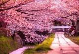 В Японии открылся сезон цветения сакуры